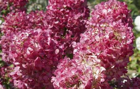 Rispenhortensie 'Diamant Rouge'®